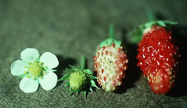strawberry from flower to fruit
