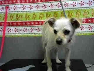 ``PUPPY**  MAISY #A481240 (Moreno Valley CA) Female tan and white Terrier mix. The shelter thinks I am about 1 year. I have been at the shelter since Jan 05 2018