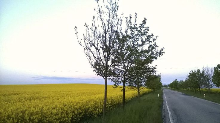 The yellow mustard fields on the way to Prague from Cesky Krumlov - May 14 2014