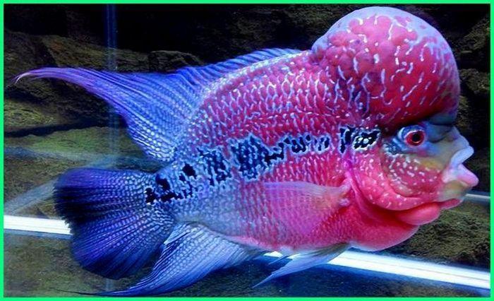 Cara Merawat Ikan Louhan Si Flowerhorn Yang Jenong Pets Fish