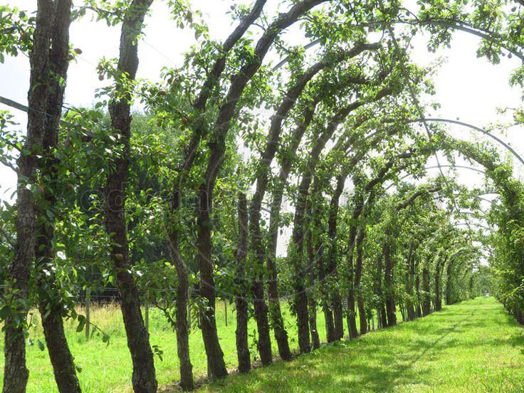 Het Perenlaantje in Hendrik Ido Ambacht. Een berceau (loofgang) van ruim 500 meter lang, met perenbomen van meer dan 100 jaar oud! Uniek in Europa. Meer info: www.dendelft.nl/perenlaantje-in-hendrik-ido-ambacht-uniek-en-bijzonder/