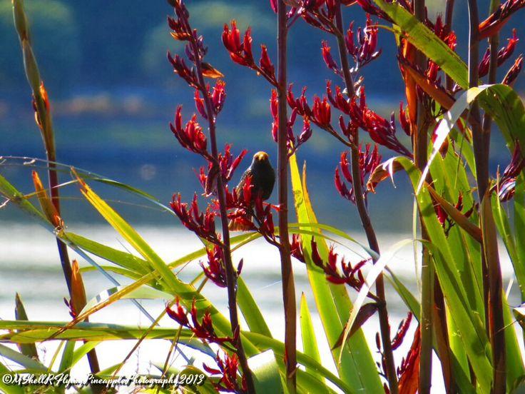 Flax, New Zealand.