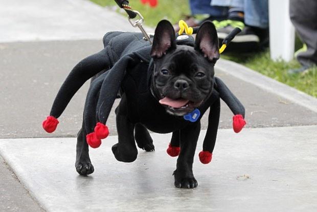 Um cão usou uma fantasia de aranha durante um festival canino, que foi realizado no domingo (7) em Lima, no Peru. (Foto: Mariana Bazo/Reuters)