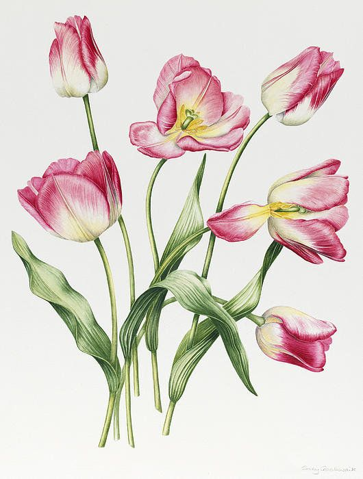 Pink Tulips Poster By Sally Crosthwaite #botanical #illustration