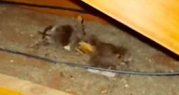How do I safely remove a dead rodent (rat mouse or squirrel) from the attic?