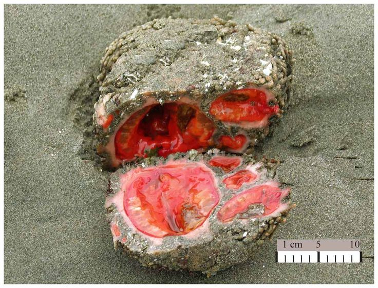 Pyura chilensis. This sea creature looks exactly like a rock with guts. It's also completely immobile like a rock — it eats by sucking in water and filtering out microorganisms — and its clear blood mysteriously secretes a rare mineral called vanadium. Also, it's born male, becomes hermaphroditic at puberty, and reproduces by tossing clouds of sperm and eggs into the surrounding water and hoping they knock together.