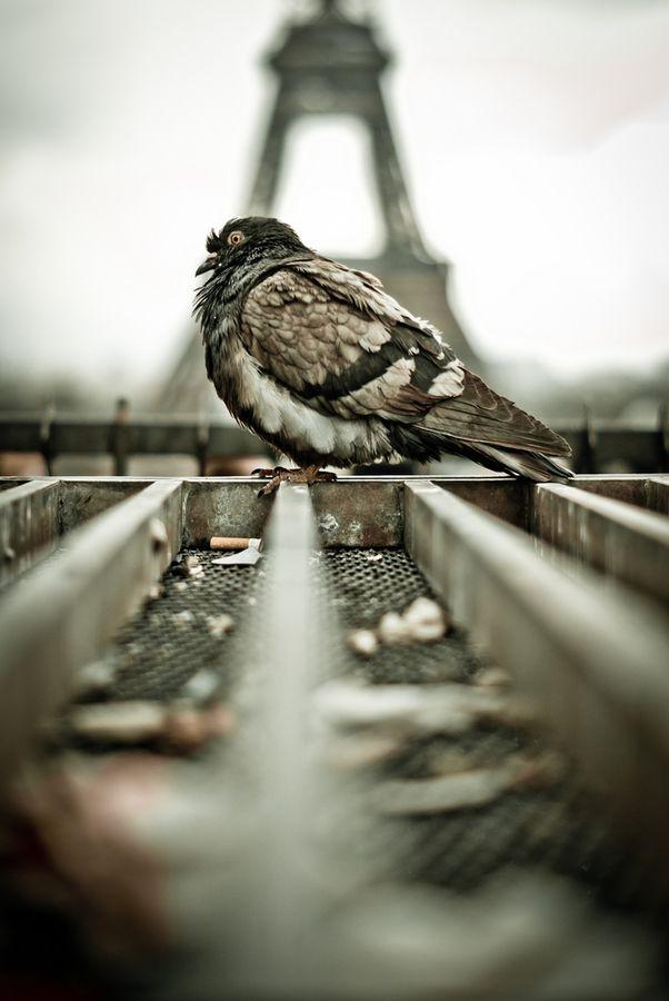 paris' pigeon
