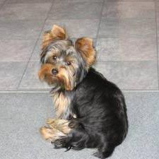 Google Image Result for http://a1.cdnsters.com/static/images/dogster/breeds/yorkshire_terrier.jpg