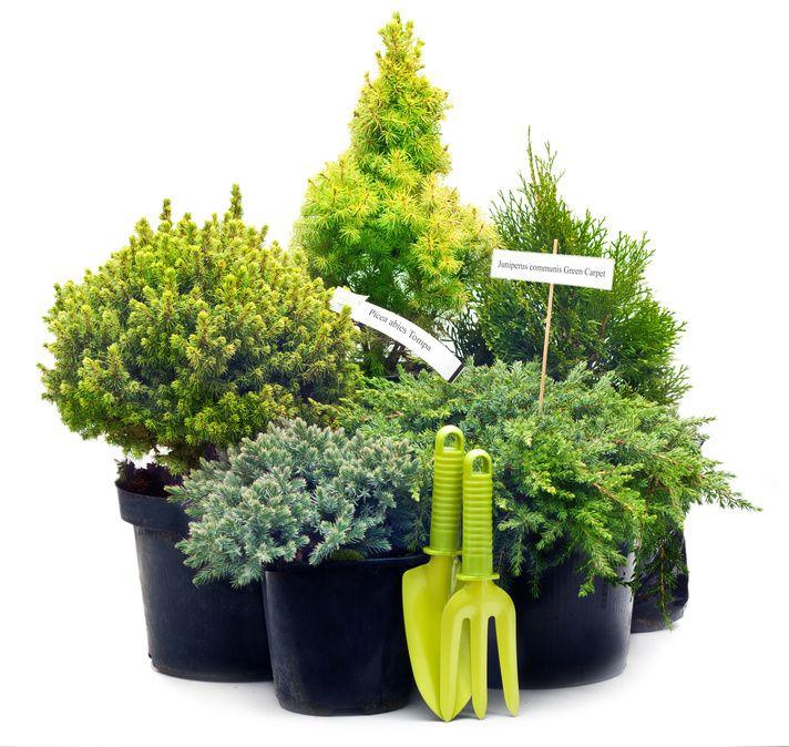 """Le conifere nane, soprattutto se """"a manutenzione zero"""", hanno pochi rivali per chi desidera allestire un angolo sempreverde in contenitore, decorativo tutto l'anno se accostato a fiori annuali da cambiare ogni stagione."""