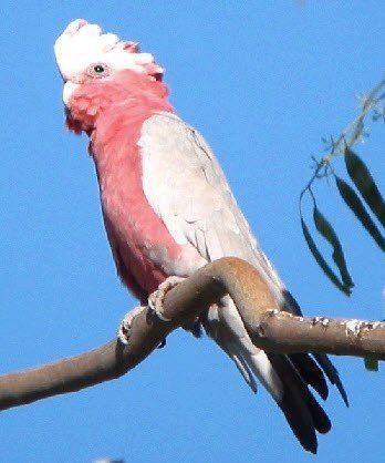 Galah in a gum tree • aussie big things Australia tour