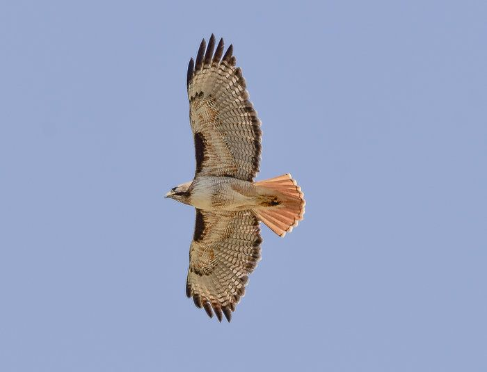 Wind Wolves: Red-Tailed Hawk at the Lupine Stop by Wayne Wong on Capture Kern County // Somehow, I got this shot of a red-tailed hawk during our third stop on the sunrise to sunset adventure...it flew right over our position, about a minute before  I got my one and only butterfly shot...hmmm wonder if there is a connection?