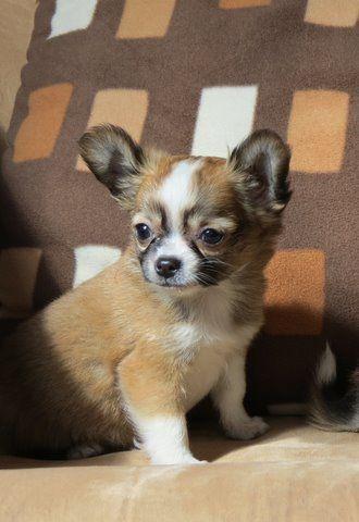 Chihuahua puppy, by Chihuahuas HGG: Aye Chihuahua, Chihuahua Puppies, Chawawa Puppies, Masks, 3 Chichi Chihuahua, Amazing Chihuahua, Adorable, Chihuahua Pics, Chihuahua Hgg