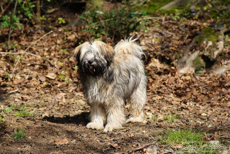 Tibetan Dog by GerryGollan .