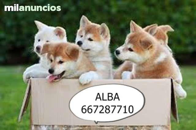 MIL ANUNCIOS.COM - Akita inu japones. Compra-venta de perros akita inu japones. Regalo de cachorros..