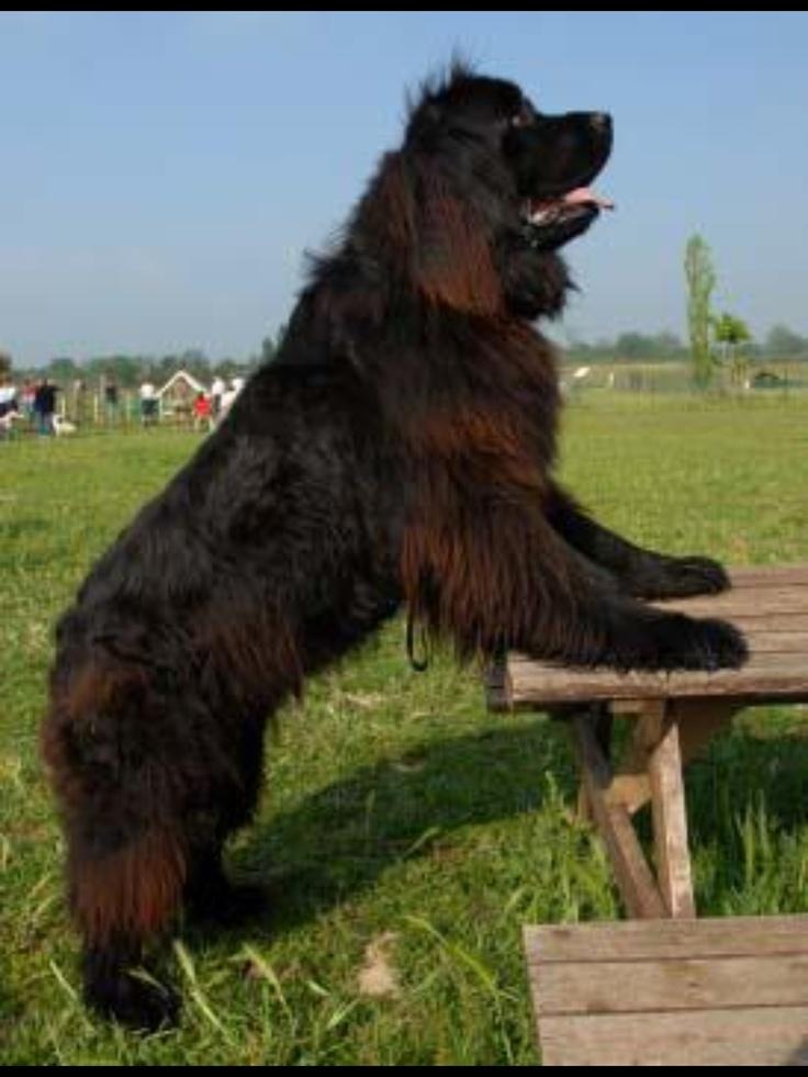 Labrador Dog Breed Pros And Cons