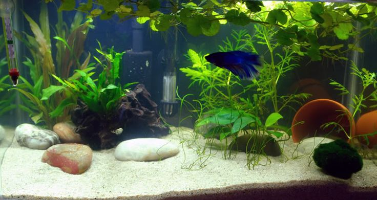 Beautiful 10 gallon aquarium with a betta fish and real for Natural fish tank