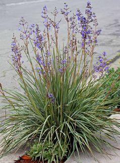 Aristea inaequalis aa  - clay, heat, deer tolerant.  FL spring through fall, blue flowers, gardening, landscaping, plantings