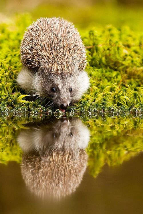 Hedgehog by Robert Adamec