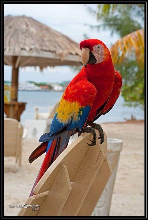 Cuacamaya, ave nacional de Honduras   Viajes por mi tierra ...