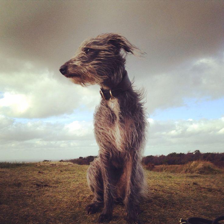 willow, lurcher, bedlington whippet, windswept