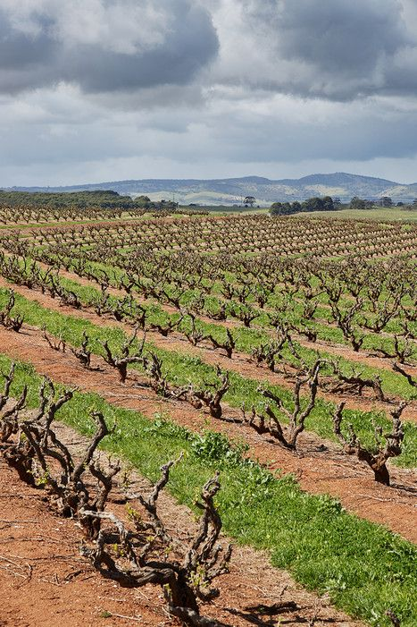 Some of Seppeltsfield Winery's vines, in the Barossa Valley, date to 1851