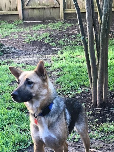 Adopt Liesel On Dogs Shepherd Dog German Shepherd Dogs