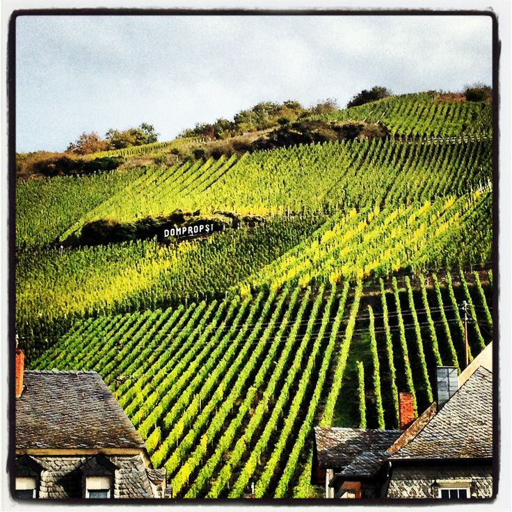 Domprobst vineyard in Graach, Germany.  Mosel River Valley.