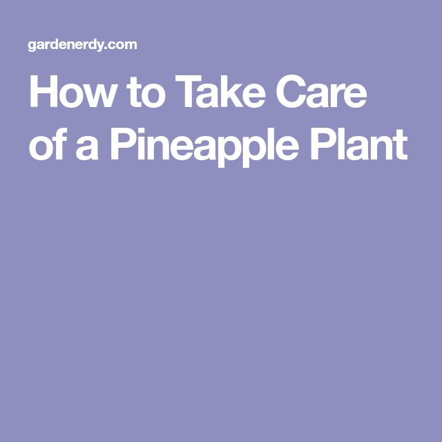 How to Take Care of a Pineapple Plant