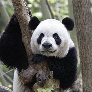 """Recientemente han creado un """"diccionario"""" para traducir a los pandas gigantes. El hambre sería algo como """"yi-yi"""" mientras que el enfado lo expresan con especie de """"guau-guau""""."""