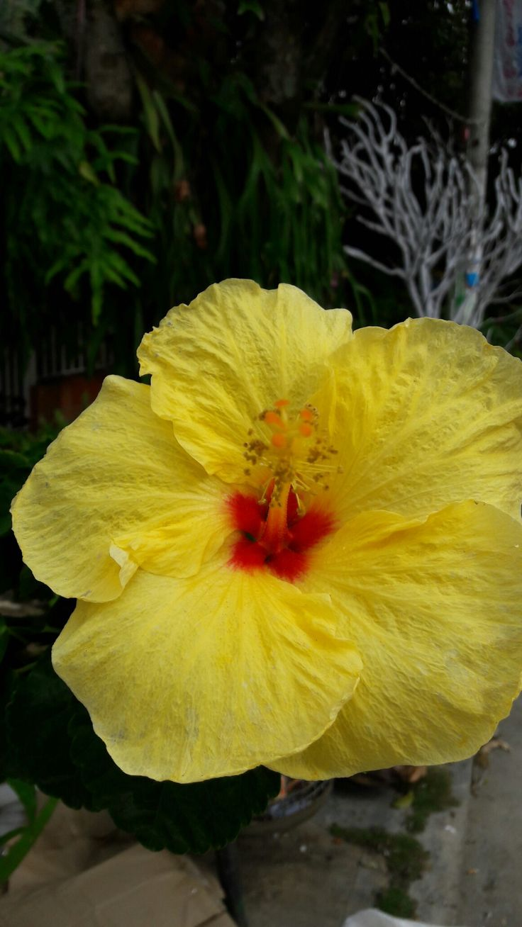 Hibiscus Rosa-Sinensis Cayeno Amarillo