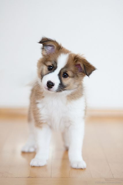 Icelandic Sheepdog Puppy.   Loved this breed.