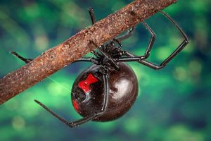 Why Black Widow Spider Venom Is So Potent