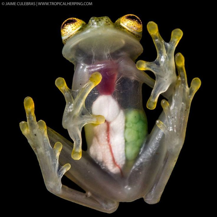 25+ best ideas about Glass frog on Pinterest | Transparent frog ...