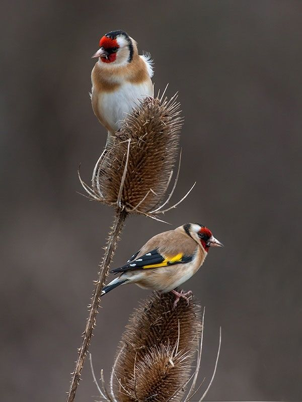Goldfinches  by dave blackwell...sweet
