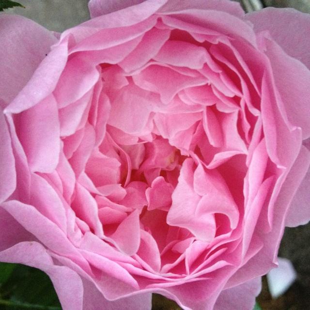 Austin rose i drivhuset. Mary Rose.