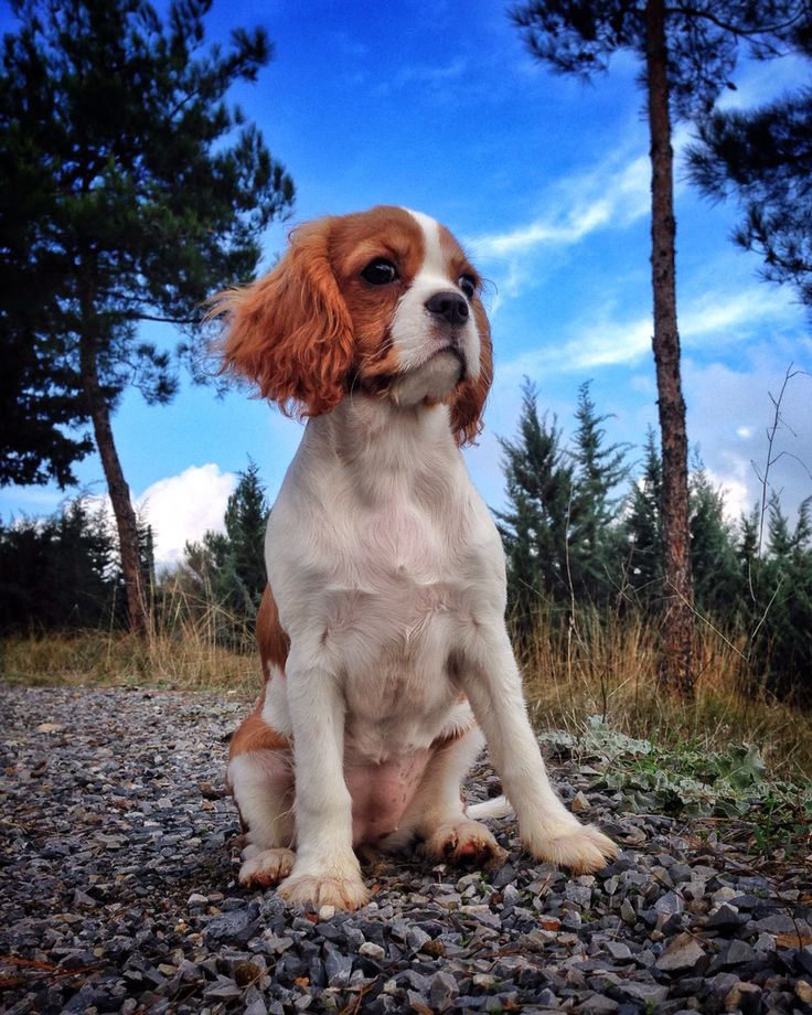 """King Charles Cavalier  """"Charlotte"""" up in the mountains"""
