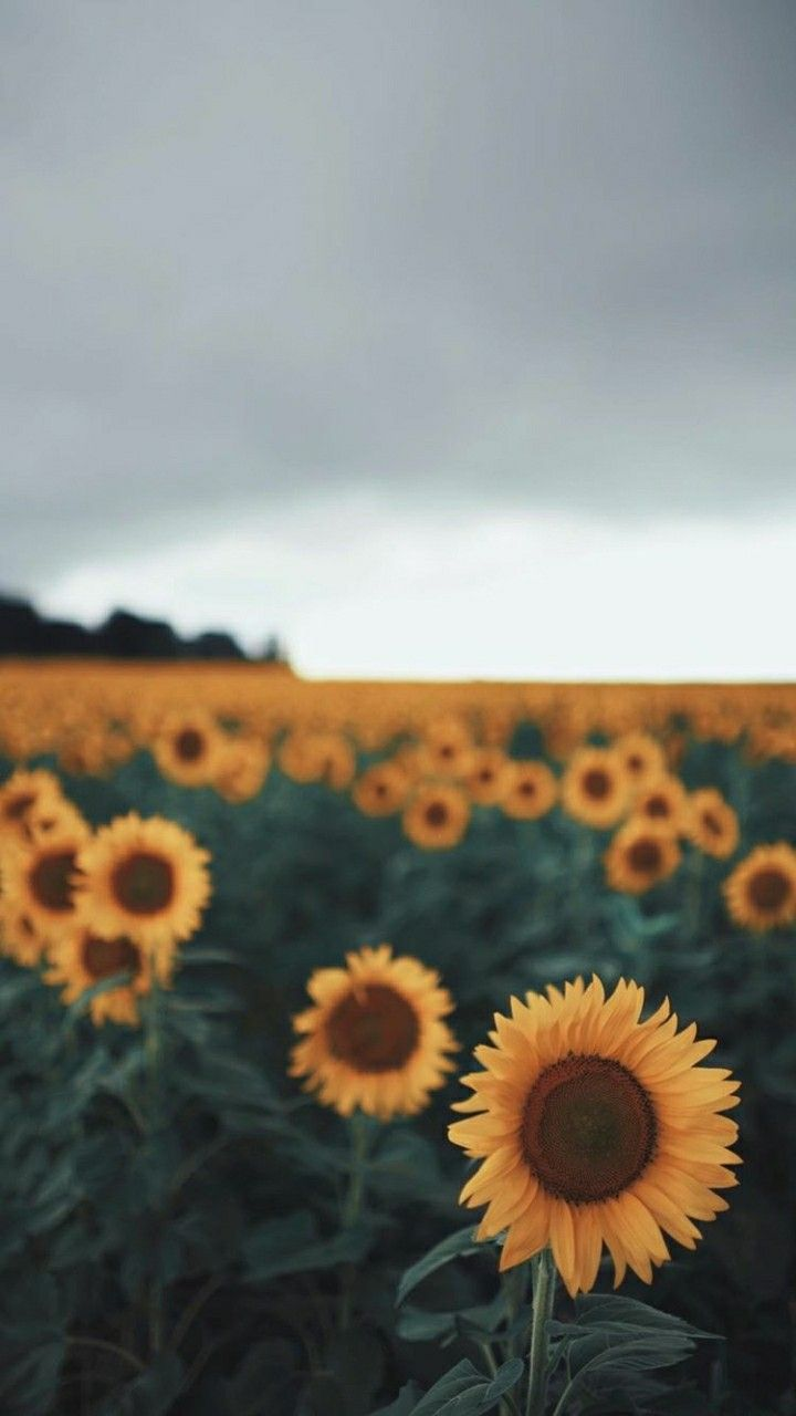 Mobile Wallpapers lockscreen Sunflower wallpaper