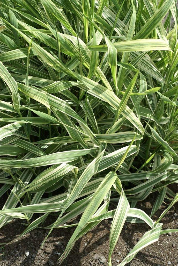 http://faaxaal.forumactif.com/t1493-photos-de-graminees-baldingere-faux-roseau-alpiste-faux-roseau-phalaris-arundinacea-reed-canarygrass