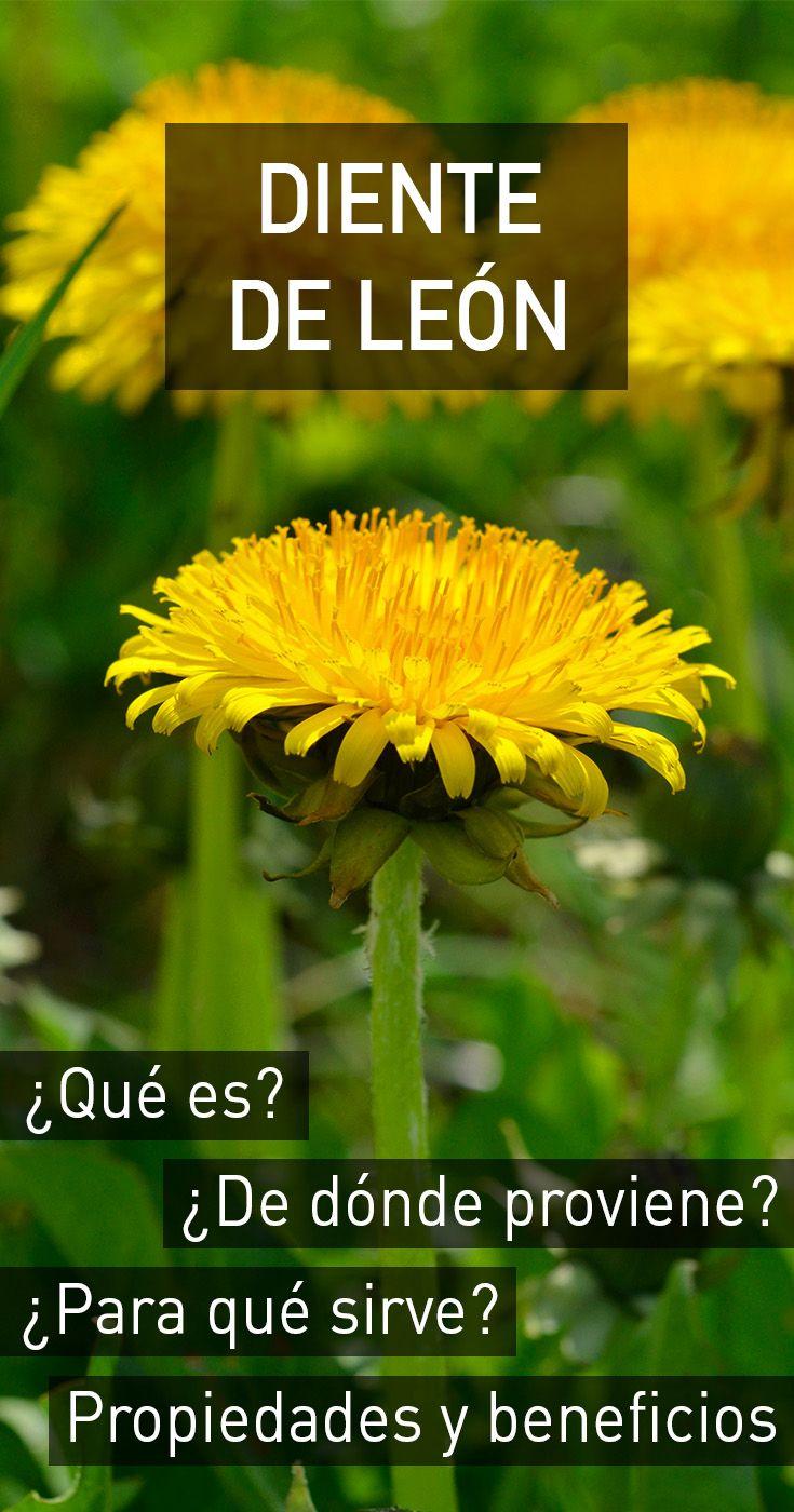 Diente de León : propiedades, beneficios para la salud, efectos secundarios y dosis recomendada