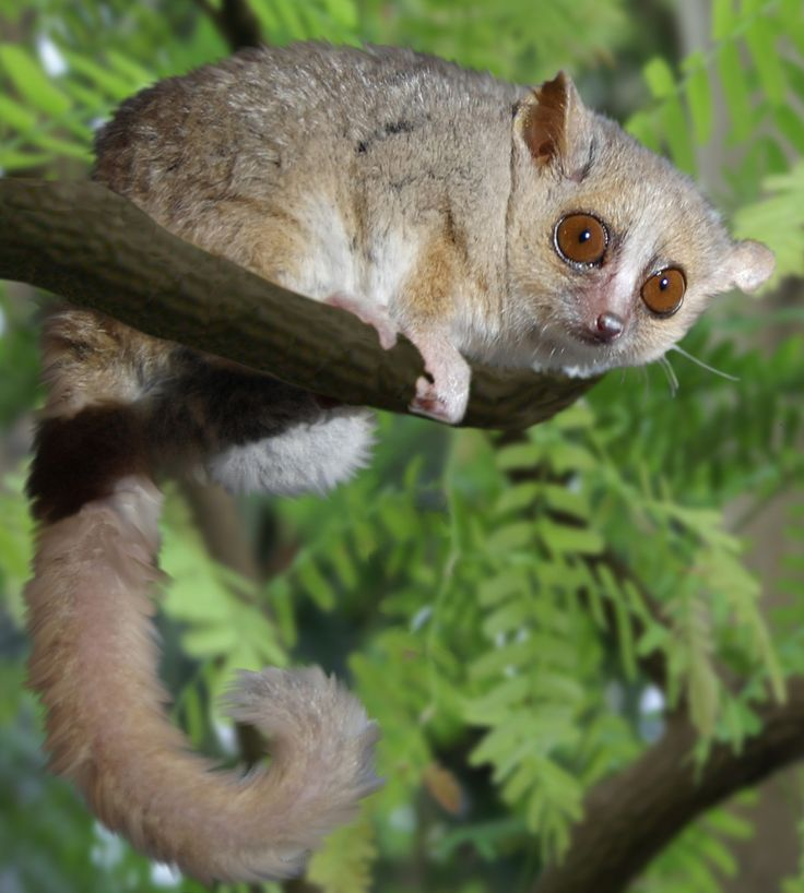 find this pin and more on primates lemur