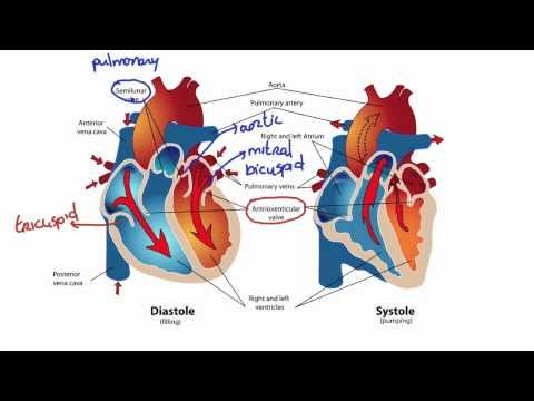 How Blood Flows Through the Heart - What is Stroke Volume & How to Calculate. 04.19.13