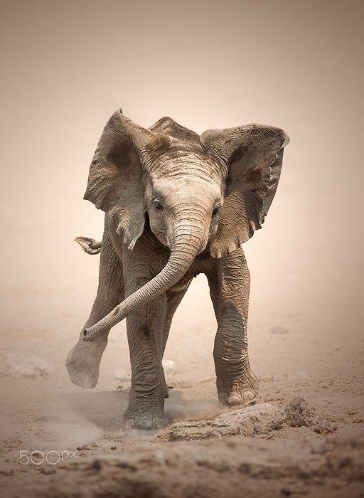 Baby Elephant (Loxodonta Africana) mock charging - Etosha National Park…