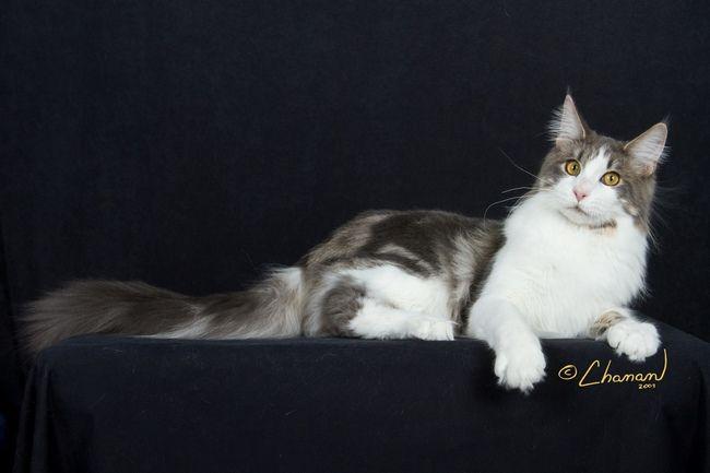 #MaineCoon #BlueTabby&White #Blue #Tabby #White #Cats Avistacats Sky of JoysJoy