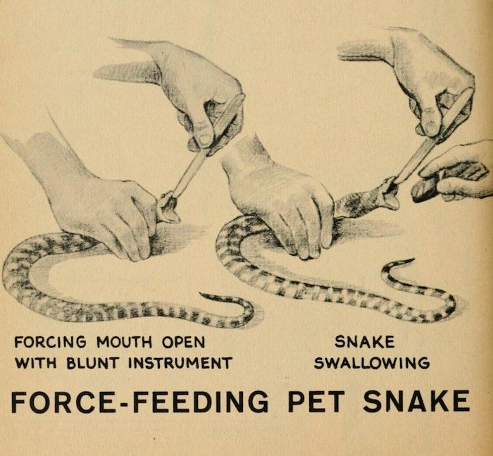 "Pets Care - nemfrog: """"Force-feeding pet snake."" Snakes. 1949. "" The way cats and dogs eat is related to their animal behavior and their different domestication process."