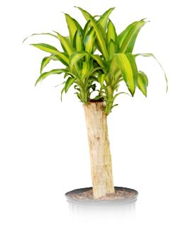 Mass cane light low amounts of light this makes it for Low water indoor plants