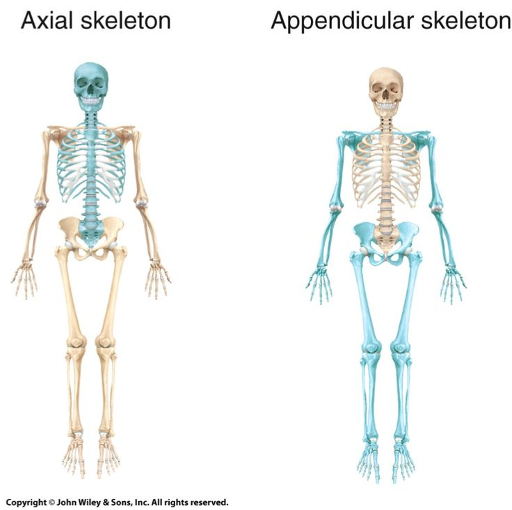 blank appendicular skeleton - photo #29