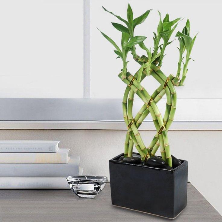 bambou en pot: treillis de 8 tiges qui symbolisent la richesse