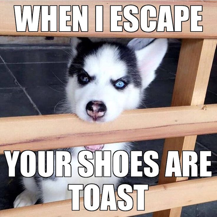 Omg He S Mad Now Funny Husky Meme Dog Quotes Funny Dog Quotes
