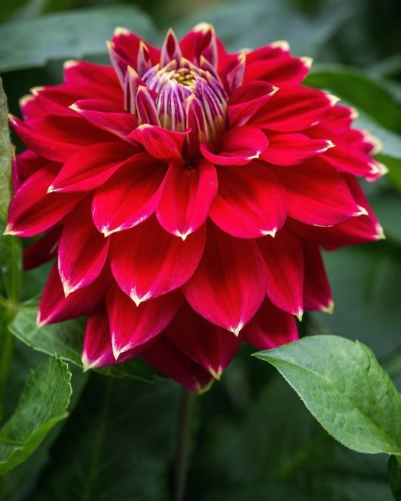 Dahlia 'Little Miss Muffet.'