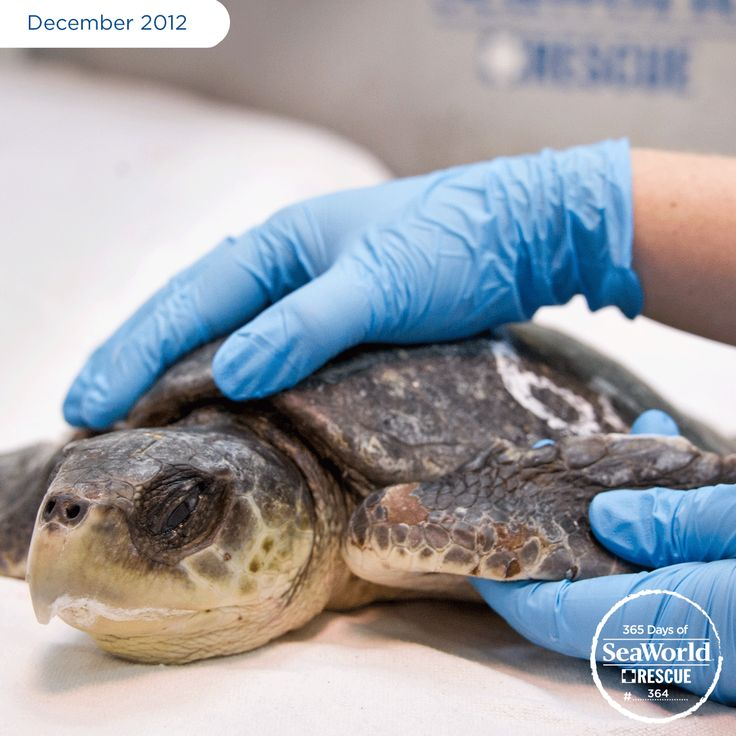 Warm November weather delayed this young sea turtle's migration south and, when the waters eventually cooled down, it developed hypothermia and washed ashore. The little guy was rescued and then transferred from the New England Aquarium to SeaWorld for further rehabilitation and around-the-clock care. #365DaysOfRescue